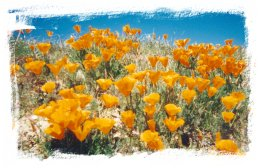 California Poppies in Spring